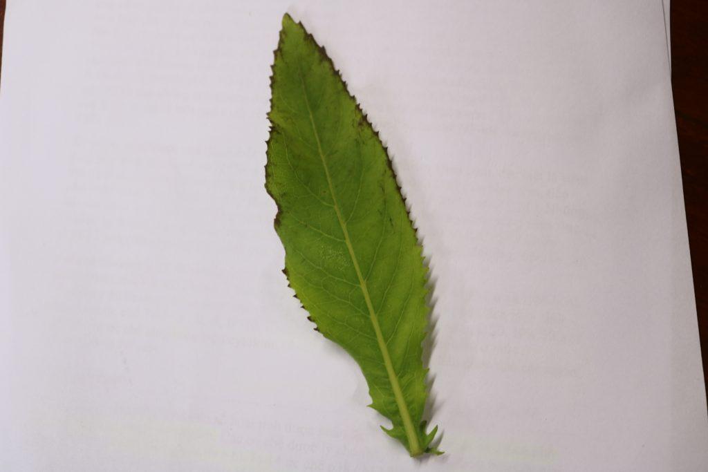 hình ảnh lá cây cúc lục lăng