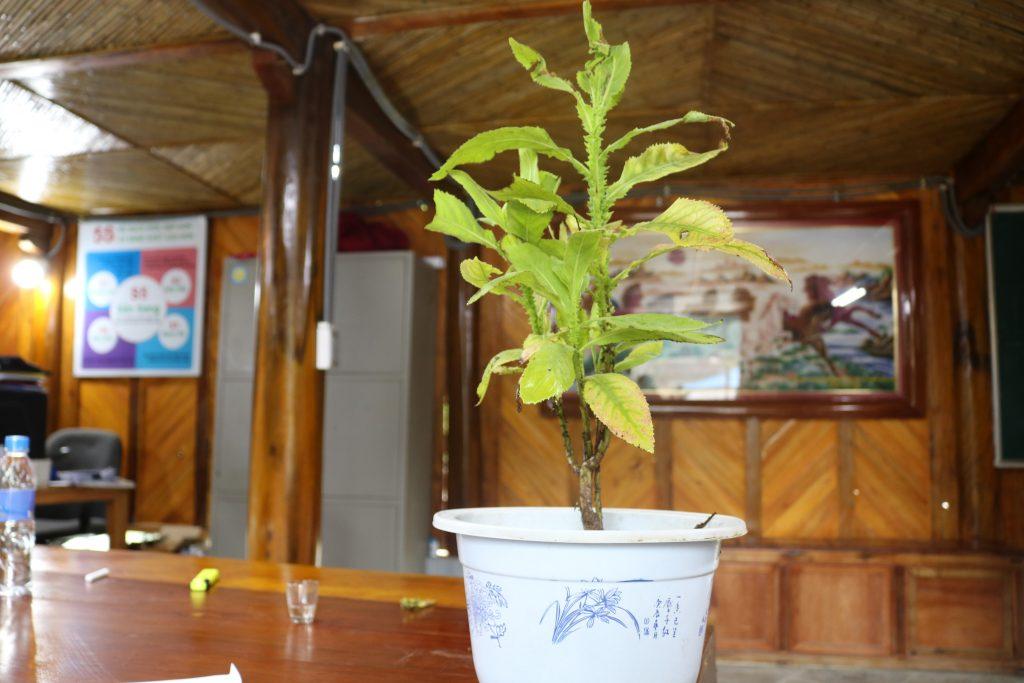 Cúc lục lăng - cây thuốc quý chống viêm amidan ít người biết đến