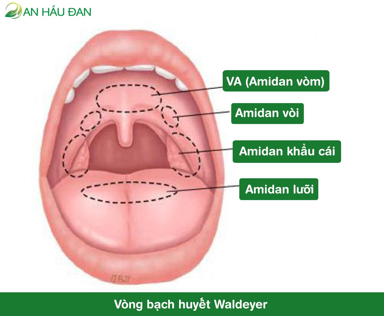 Chức năng của amidan và va - ảnh 3