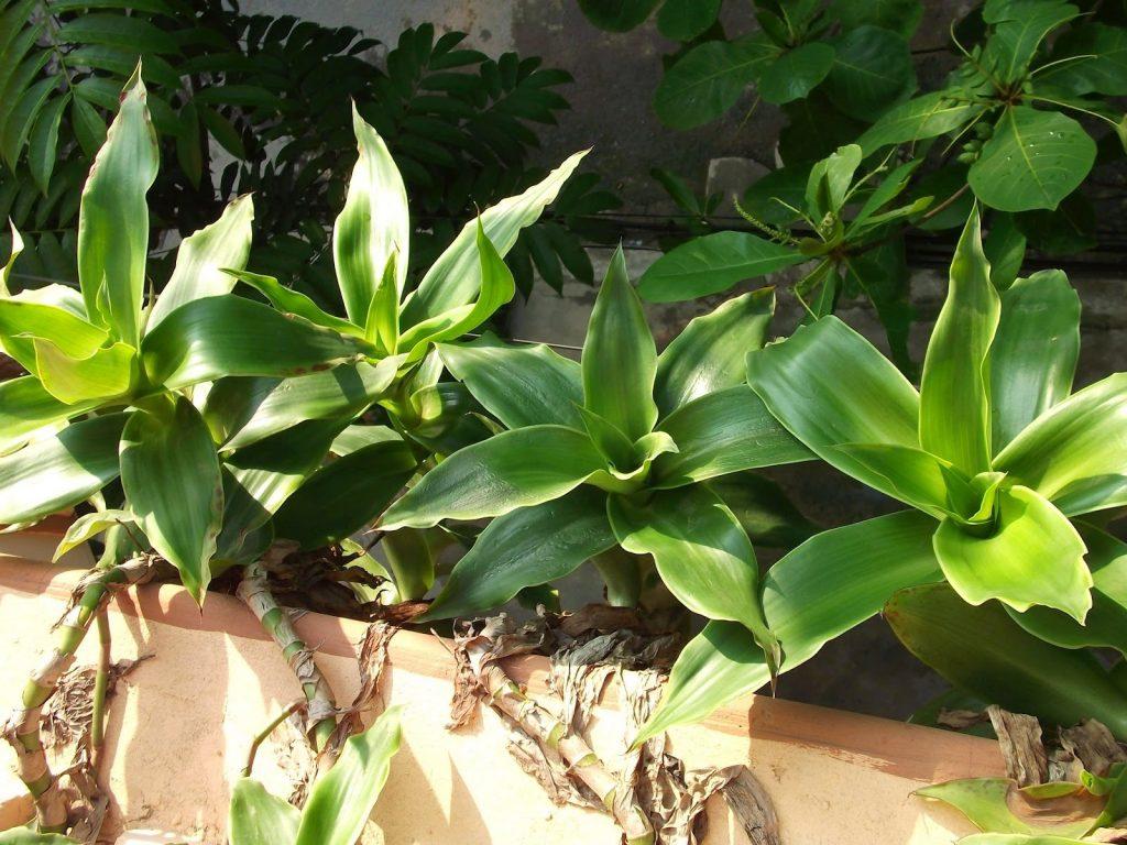 Mẹo chữa viêm amidan hốc mủ bằng 5 loại lá cây rẻ tiền, dễ kiếm - Ảnh 2