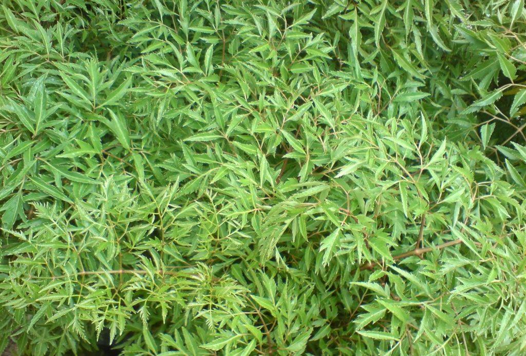 Mẹo chữa viêm amidan hốc mủ bằng 5 loại lá cây rẻ tiền, dễ kiếm - Ảnh 3