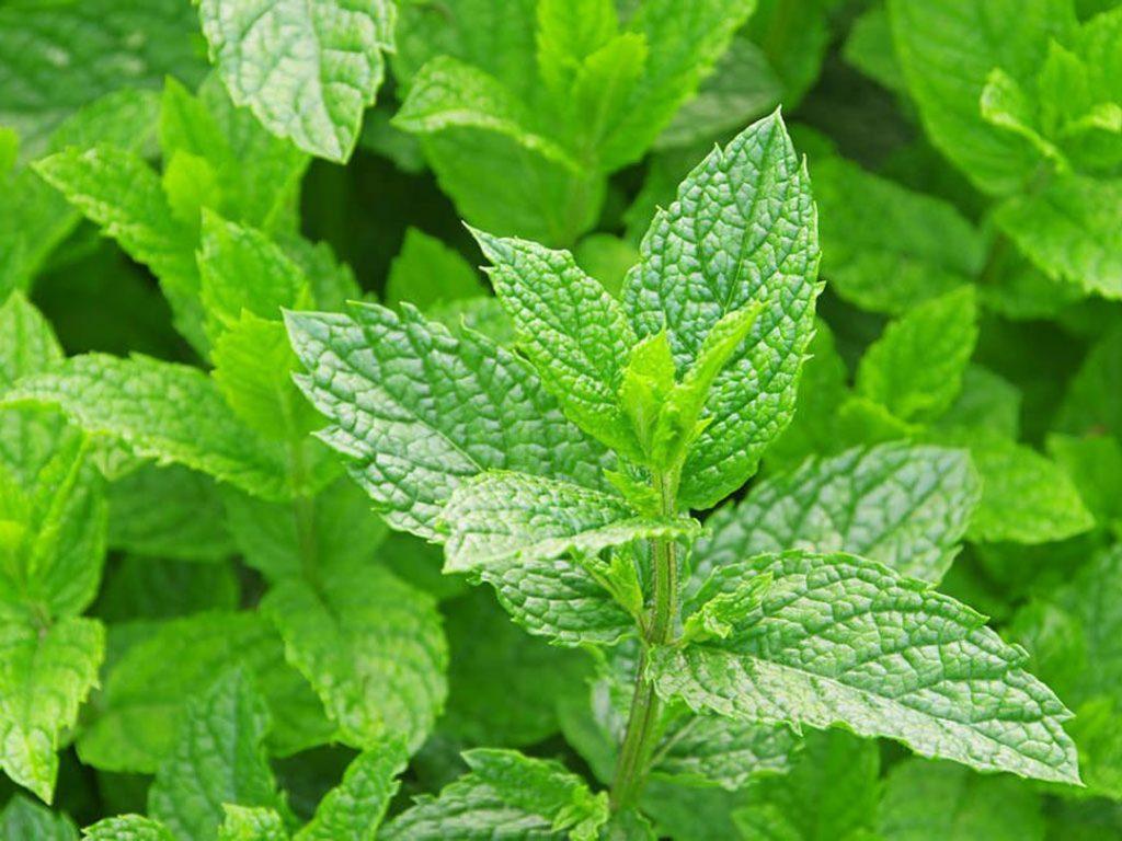Mẹo chữa viêm amidan hốc mủ bằng 5 loại lá cây rẻ tiền, dễ kiếm - Ảnh 4